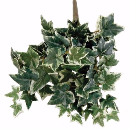 """Picture of 15"""" Variagated Holland Ivy"""