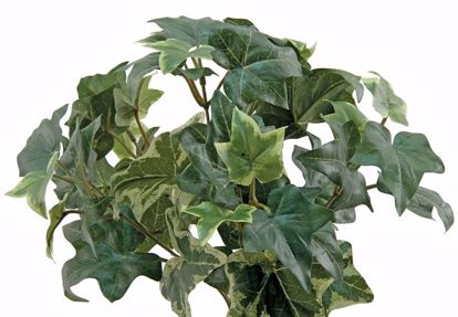 "Picture of 15"" Sage Ivy Bush x 6"