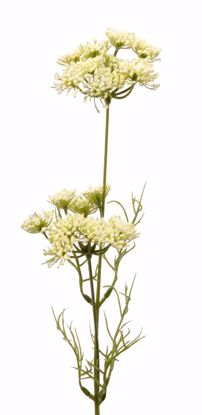 """Picture of Cream Queen Ann Lace Stem (25"""")"""