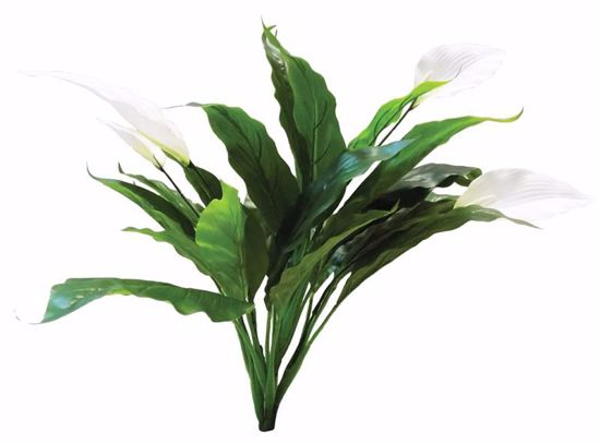 """Picture of 24"""" Peace Lily Bush x 6"""
