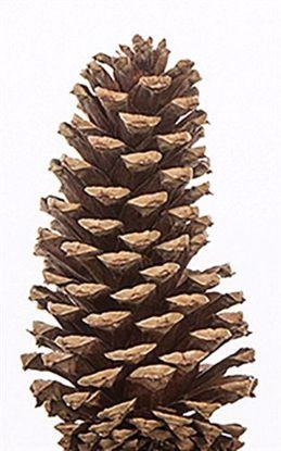 """Picture of 3""""-4"""" Medium Size Natural Pine Cones"""