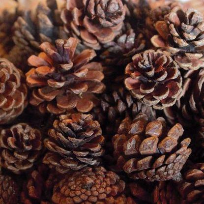 Picture of Natural Austriaca Pine Cones Bulk
