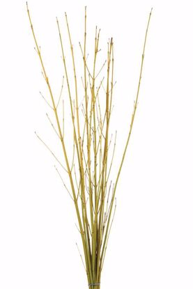 Picture of Natural Yellow Twig Dogwood 3-4'