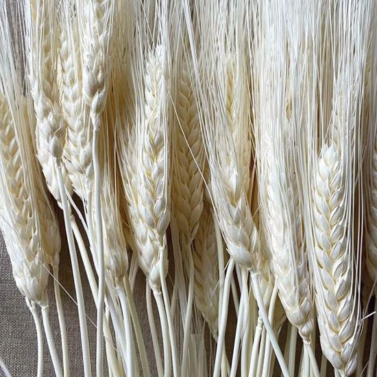Picture of Bleached Triticum Wheat 8oz.