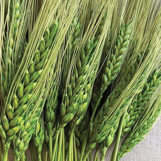 Picture of Green Triticum Wheat 8oz.