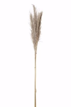 Picture of Natural Pampass Grass