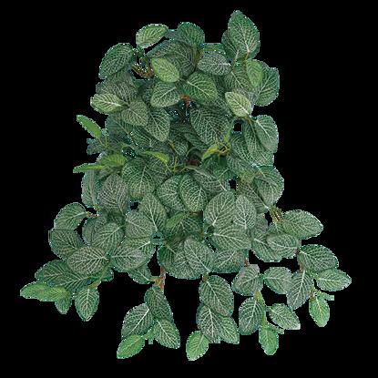 Picture of Fittonia Vine (12 Stems)