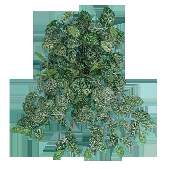 Picture of Fittonia Vine x 12