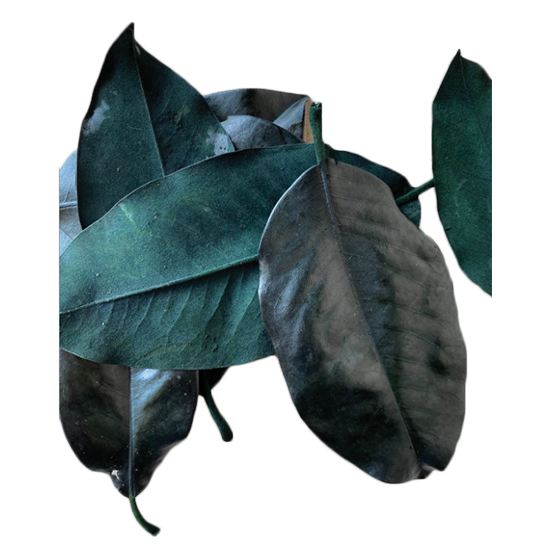 Picture of Magnolia Leaves Preserved